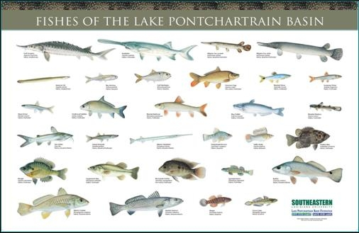 Fishes of the basin for Lake pontchartrain fish species